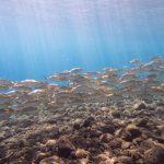Tulamben Fischschwarm