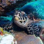 Schildkröte in Tulamben
